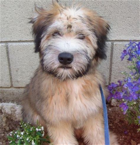 wheaten terrier puppies soft coated wheaten terrier soft coated wheaten terriers breed