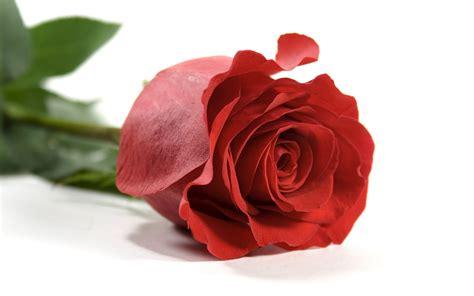 google wallpaper rose full wallpaper rose flower wallpaper free