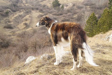 borzoi puppies for sale borzoi puppies for sale from reputable breeders