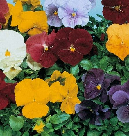 Benih Bunga Viola Jenis 4 bunga pansy clear