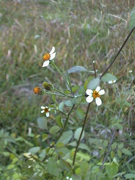 Bidens Pilosa Health Effects And Herbal Facts