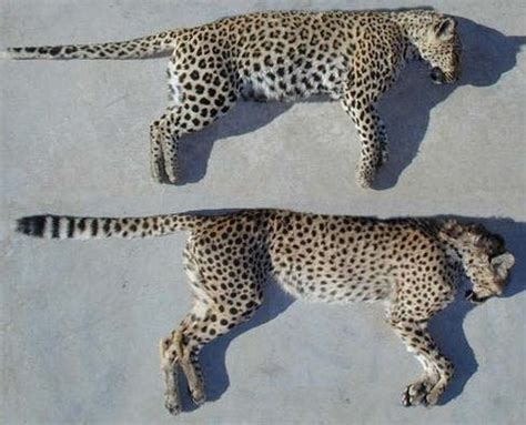 difference between jaguar leopard and panther 301 moved permanently