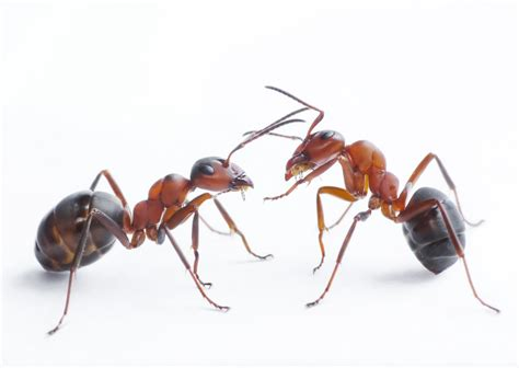 house ants types of ant that can infest your home