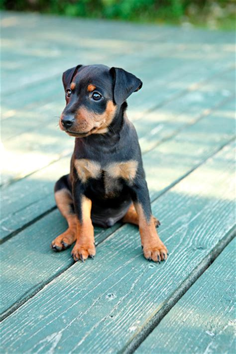 doberman pinscher puppy 50 mind blowing doberman pinscher golfian