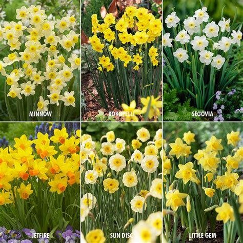 van zyverden award winning perennial deer resistant daffodil blend set of 30 87038 the home