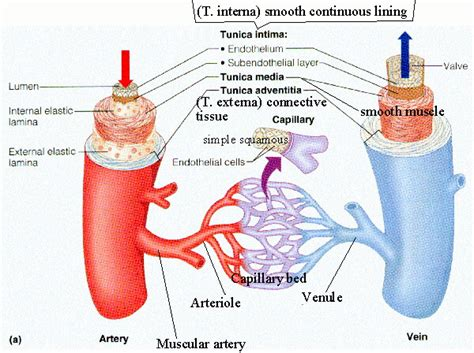 diagram of the blood vessels bibliography circulatory system