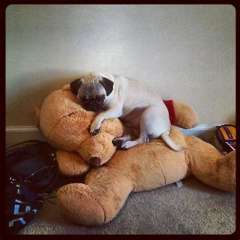 cuddle pugs 17 best images about pugs pets care on cooker pug and for