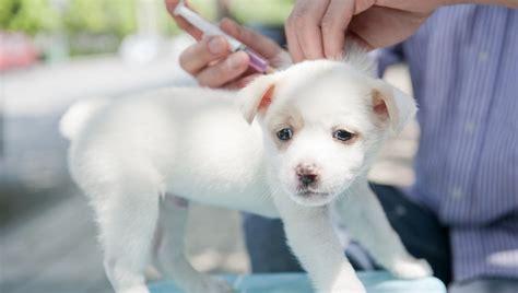 adenovirus in dogs adenovirus 1 in dogs symptoms causes treatments dogtime