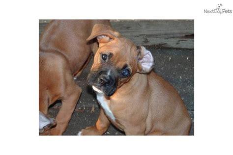 boxer puppies for sale in cincinnati ohio boxer for sale for 350 near cincinnati ohio 190813db 3401