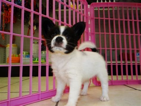 puppies for sale in macon ga friendly black white papillon puppies for sale in atlanta at atlanta