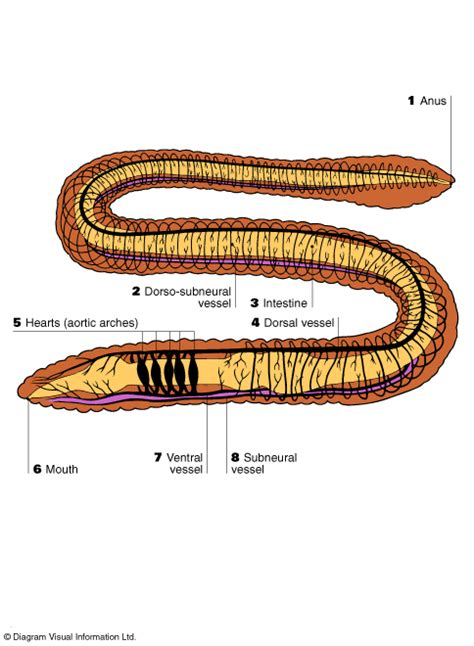 the earthworm diagram circsystemsunsig09r3b e comparing human circulation