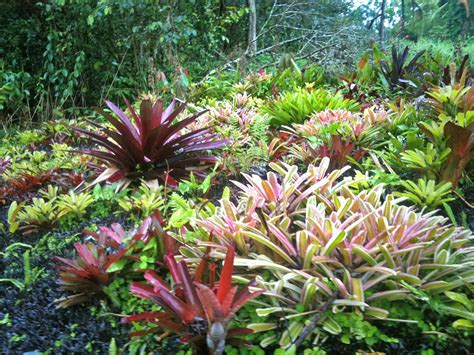 learn about bromeliads order tropical flowers direct from kauai hawaii kalani tropicals