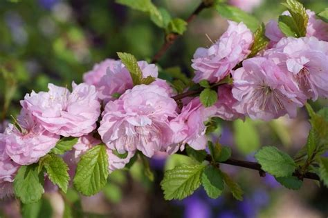 mandorlo da fiore pruno da fiore prunus prunus alberi pruno da fiore