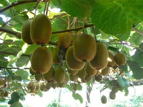 kiwi fruit trees how to grow kiwifruit from seed the garden of eaden