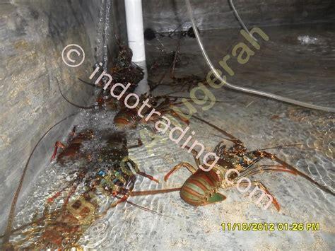 Jual Bibit Lobster Air Tawar Di Jawa Timur jual seafood segar distributor di indonesia supplier