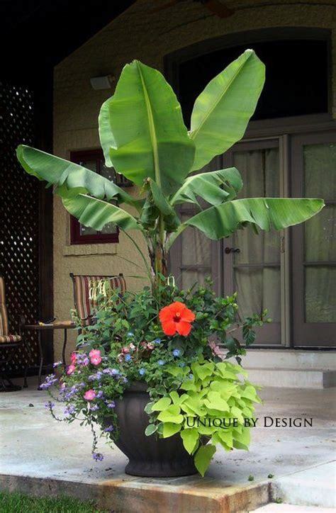 container gardens for florida realpalmtrees identification musa basjoo plants and