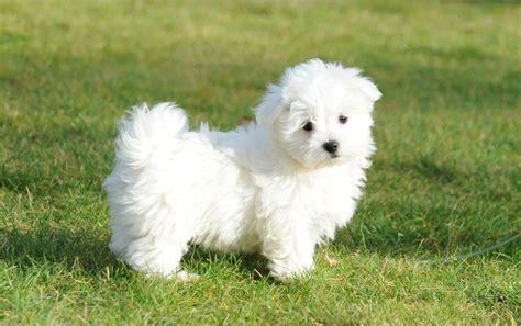 mini pup maltezer en mini maltezer pups te koop maltezer pups