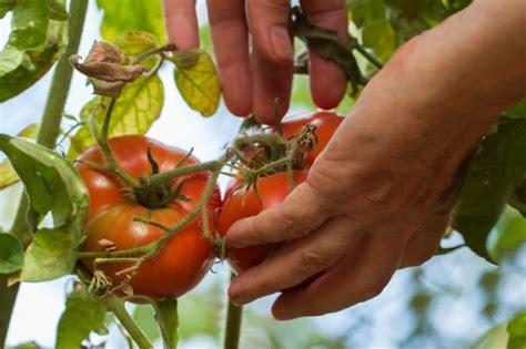 Tomaten Gewächshaus Selber Bauen Anleitung by Gew 228 Chshaus Selber Bauen Einfache Anleitung Und Tipps