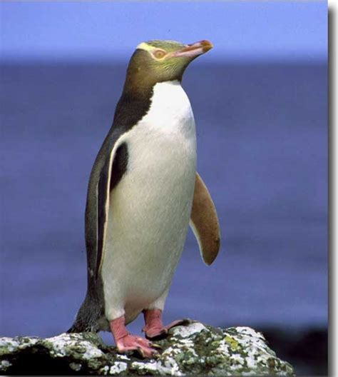 yellow eyed penguin animal wildlife