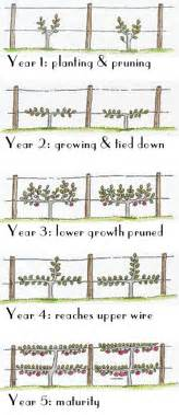 fruit tree spacing chart espalier fruit trees that s natty gardens to grow and