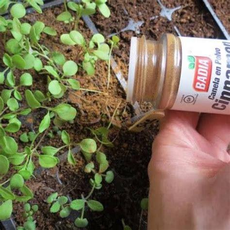 Zimt Gegen Pilze Im Garten by Sie Streut Zimt Ins Blumenbeet Wenig Sp 228 Ter Traut Sie