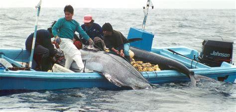 sailfish vs boat swordfish vs marlin www imgkid the image kid has it