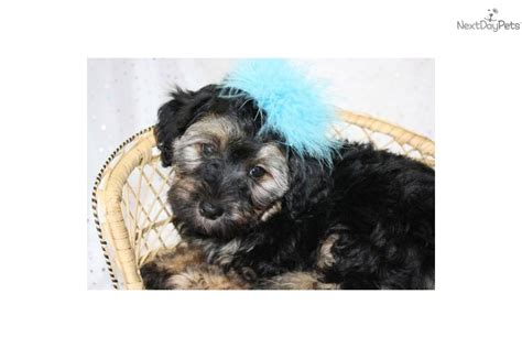 yorkie for sale kansas city teddy yorkie poo puppies teddy cut for yorkie poo hairstylegalleries