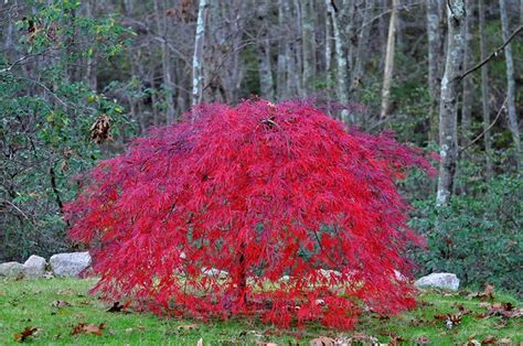dwarf weeping japanese maple gardening that i love