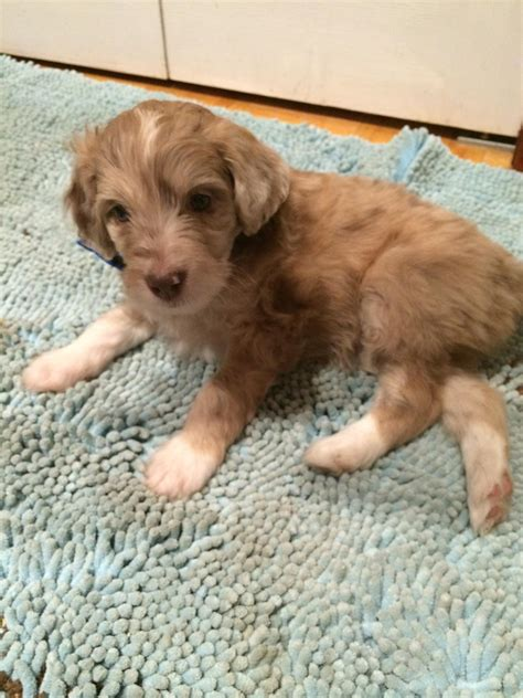 aussiedoodle puppies indiana australian labradoodles for sale in oregon breeds