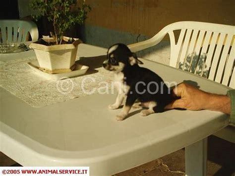 alimentazione chihuahua 3 mesi chihuahua pelo corto cucciolo 3 mesi 190804