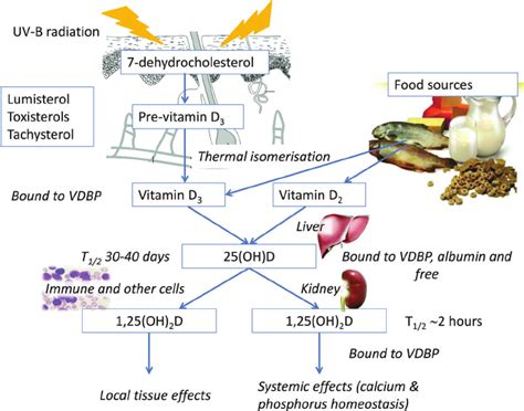 Vitamin Albumin synthesis of vitamin d and the vitamin d metabolic pathway