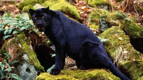 imágenes jaguar negro pantera salvaje im 225 genes y fotos