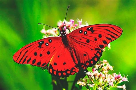 imagenes de mariposas q brillan 191 qu 233 comen las mariposas
