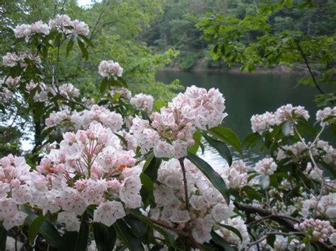 kalmia latifolia mountain laurel kalmia latifolia novelandia pinterest