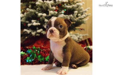 boston terrier puppies louisiana boston terrier puppy for sale near houma louisiana a807c69b 74e1