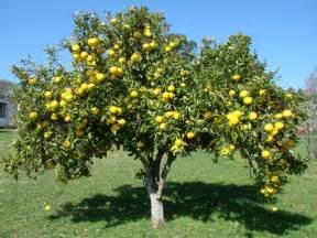 beautiful fruit trees the forbidden fruit grapefruit ferrebeekeeper