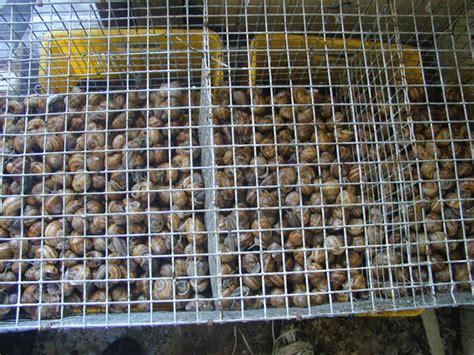 allevare lumache in casa lumache con la casa chiocciole maggio 2013