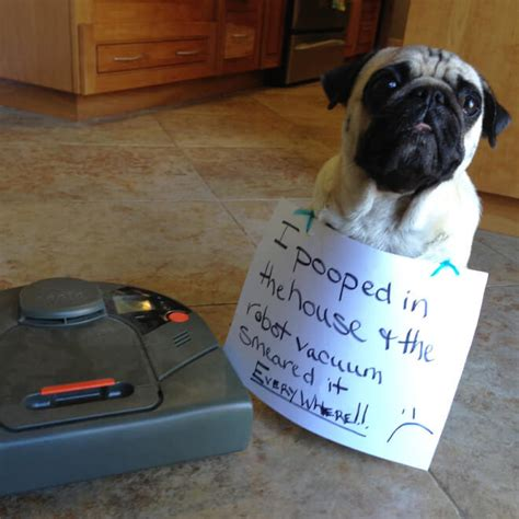 pooping pug 15 pug shaming pictures of pugs who did the crime and now doing the time