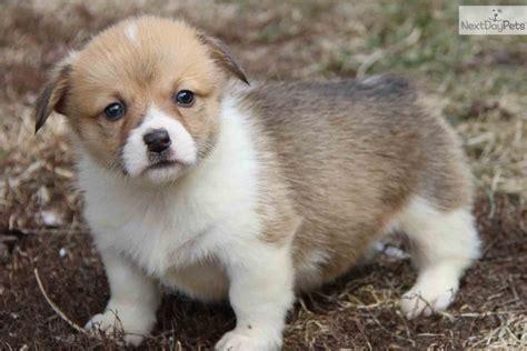 corgi puppies missouri corgi breeders photograph corgi for sale for 500 near st