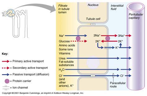 sketch book lumen ch25 renal tubular physiology