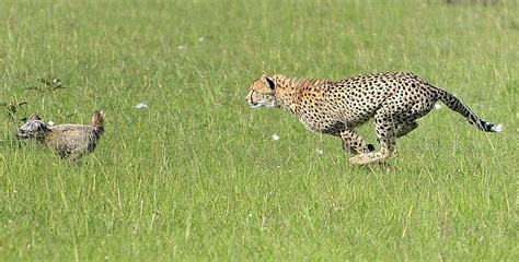 cheetah puppy cheetah escapes from it s own prey in the