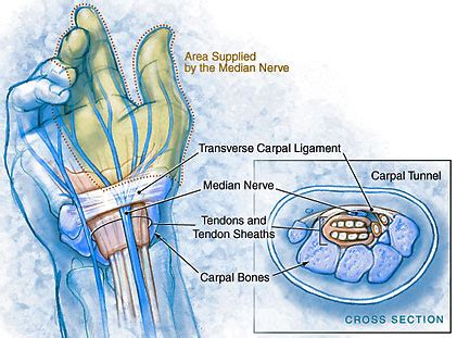 carpal tunnel floor carpal tunnel anatomy and description