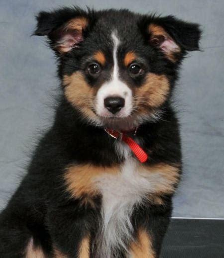 corgi aussie mix puppies 78 images about animals on australian shepherd puppys and black forest