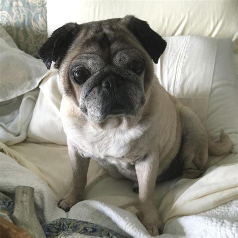 compassionate pug rescue compassionate pug rescue