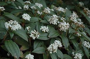 Green Foliage Outdoor Plants - david viburnum viburnum davidii in raleigh chapel hill durham apex holly springs rtp north