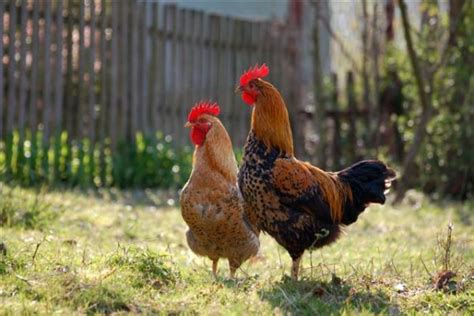 roosters hens eggs do i need a rooster for my hens to lay eggs askmax countrymax com