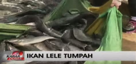 Bak Sortir Lele ikan lele seberat 5 ton tumpah di jalan raya
