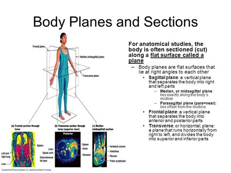 body planes and sections the human body an orientation ppt video online download