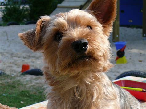 yorkie fur free photo terrier pet small free image on pixabay 852945