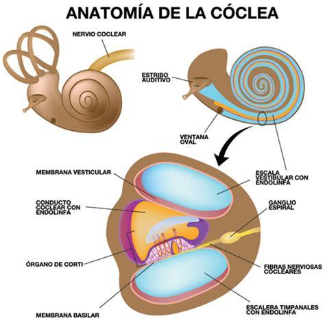 liquido orecchio interno c 243 clea